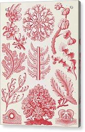 Illustration Shows Red Algae. Florideae. - Rotalgen Acrylic Print by Artokoloro