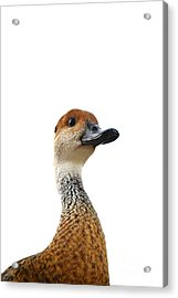 I'm Not Quacking Acrylic Print by Darla Wood