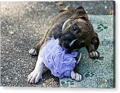 Imma Git U    Pit Bull Pup Acrylic Print