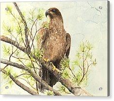 Immature Eagle Acrylic Print