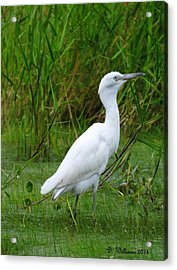Immature Little Blue Heron Acrylic Print