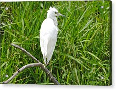 Immature Little Blue Heron On Watch Acrylic Print