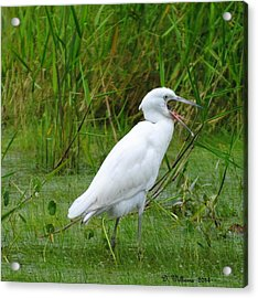 Immature Little Blue Heron Yawning Acrylic Print by Dan Williams