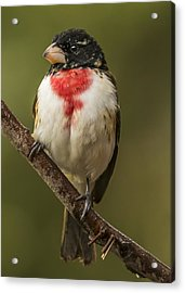 Immature Male Rose-breasted Acrylic Print