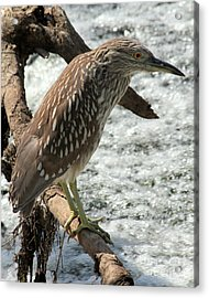 Acrylic Print featuring the photograph Immature Night Heron by Kenny Glotfelty