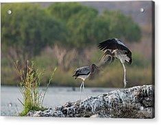 Immature Yellow-billed Storks At Play Acrylic Print by Tony Camacho/science Photo Library