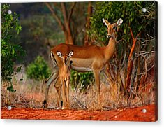 Impala And Young Acrylic Print