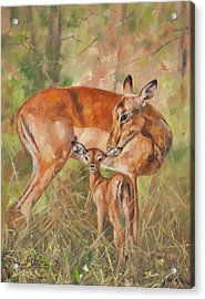 Impala Antelop Acrylic Print by David Stribbling