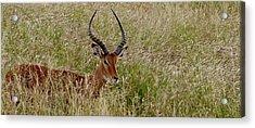 Acrylic Print featuring the photograph Impala Camo by Joseph G Holland
