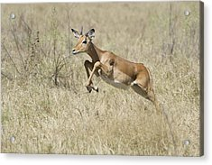 Impala Leaping Through Savanna Acrylic Print by Richard Berry