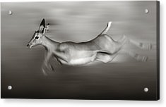 Impala Running  Acrylic Print by Johan Swanepoel
