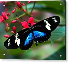 Imperfect Beauty In Black And Blue On Red Acrylic Print by Karen Stephenson