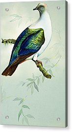 Imperial Fruit Pigeon Acrylic Print by Bert Illoss