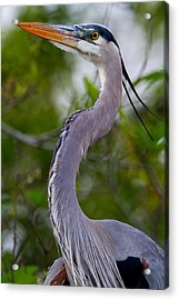 Imperial Great Blue Heron Acrylic Print by Andres Leon