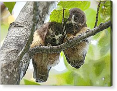 Impossibly Cute Owl Fledglings- Abstract Acrylic Print by Tim Grams