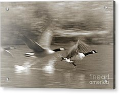 In A Blur Of Feathers Acrylic Print
