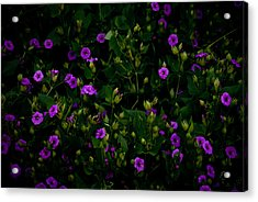 In Bloom Acrylic Print by Swift Family