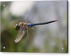 Dragonfly In Flight  Acrylic Print