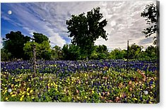 In Full Bloom Acrylic Print by Cole Black