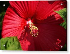 In Full Bloom Acrylic Print by Thomas Fouch