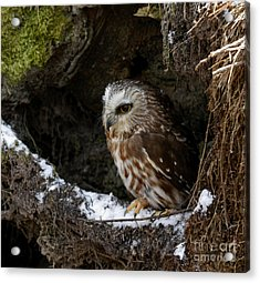 In Hiding Saw Whet Owl In A Hollow Stump Is Part Of The Birds Of Prey Fine Art Raptor Wildlife Photo Acrylic Print by Inspired Nature Photography Fine Art Photography