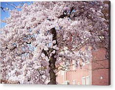 In Its Glory. Pink Spring In Amsterdam Acrylic Print by Jenny Rainbow