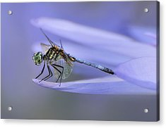 In Lily's Arms Acrylic Print