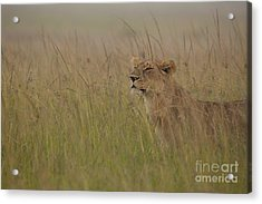 In Search Of Cubs Acrylic Print by Ashley Vincent