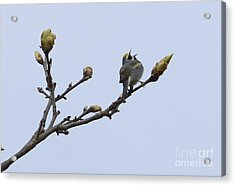 In Song Acrylic Print by Randy Bodkins