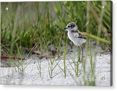In The Grass - Wilson's Plover Chick Acrylic Print