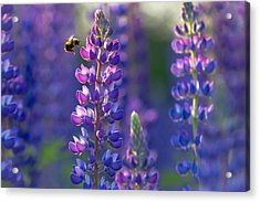 In The Land Of Lupine Acrylic Print by Mary Amerman