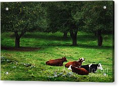 In The Orchard Cows Are Resting Acrylic Print by Joy Nichols