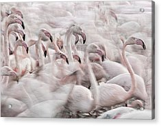 In The Pink Transhumance Acrylic Print