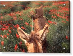In The Poppy Fields Acrylic Print by Rolf Ashby