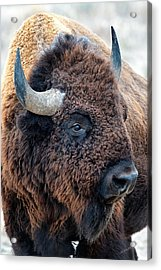 Bison The Mighty Beast Bison Das Machtige Tier North American Wildlife By Olena Art Acrylic Print