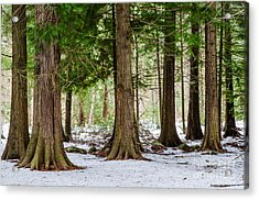 Acrylic Print featuring the photograph In The Thuja Forest by Kennerth and Birgitta Kullman
