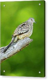 Inca Dove (columbina Inca Acrylic Print by Larry Ditto
