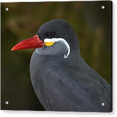 Inca Tern  Acrylic Print by Richard Bryce and Family