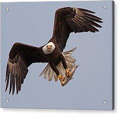 Incoming Eagle Acrylic Print by Martin Radigan