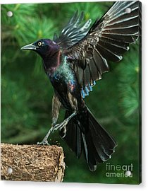 Incoming Grackle Acrylic Print