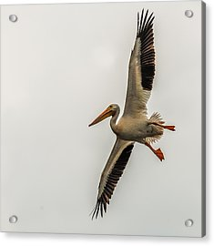 Incoming Pelican Acrylic Print by Paul Freidlund