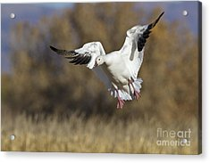 Acrylic Print featuring the photograph Incoming Snow Goose by Bryan Keil