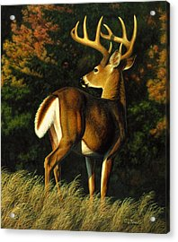 Whitetail Buck - Indecision Acrylic Print by Crista Forest