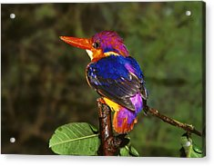 India Three Toed Kingfisher Acrylic Print by Anonymous