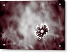 Acrylic Print featuring the photograph Indian Blanket Flower by Darryl Dalton