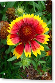 Indian Blanket Flower Acrylic Print by Sue Melvin