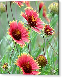 Indian Blanket Wildflowers Acrylic Print by Robert Frederick