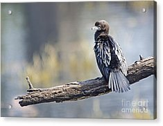 Indian Cormorant Acrylic Print
