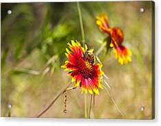Indian Fire Wheels With Bee Acrylic Print by Mark Weaver