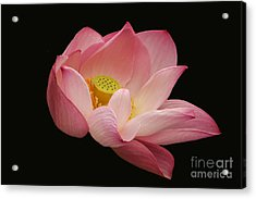 Indian Lotus On Black --- Sacred Light Acrylic Print
